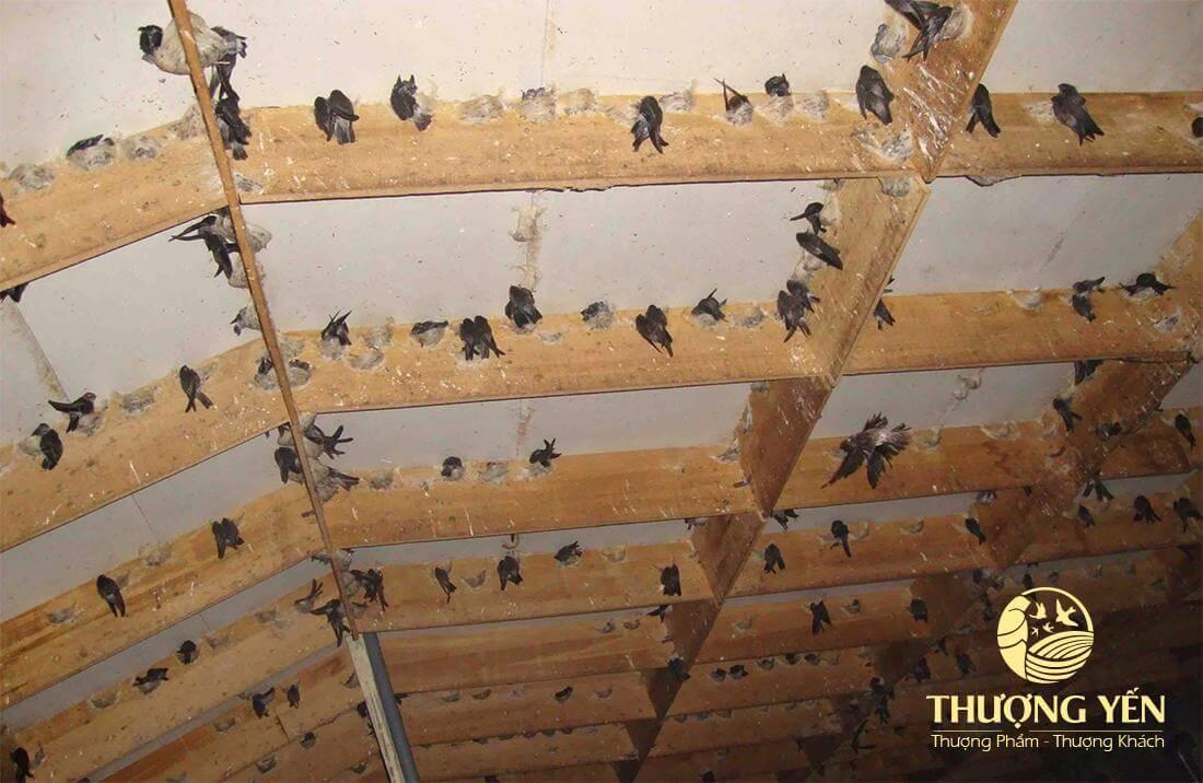 Tổ yến nhà được phát triển trong môi trường đảm bảo vệ sinh