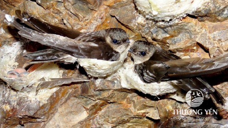 Khám phá nguồn thức ăn của chim yến